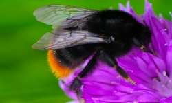 From Bumblebee Conservation Trust
